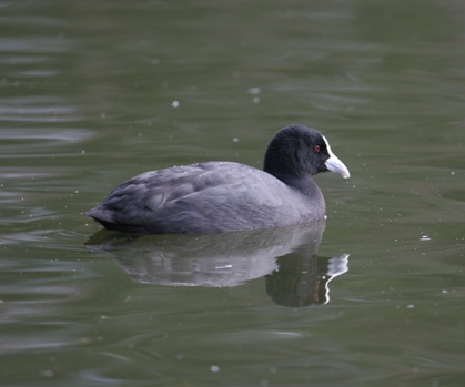 Eurasian Coot swimming on lake