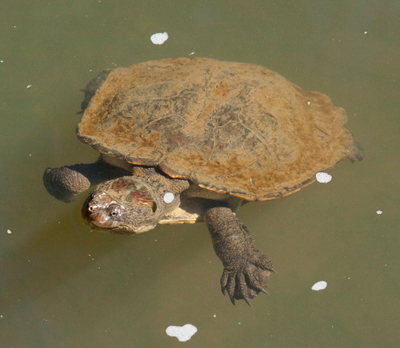 Saw-Shelled Turtle swimming on lake surface