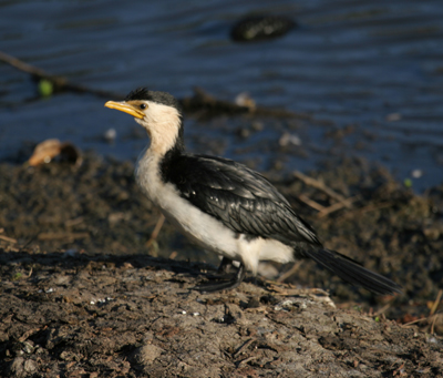 Little Pied Cormorant at lakeside