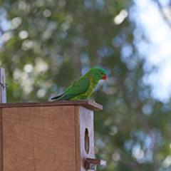 Rainbow lorikeet on birdbox
