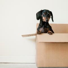 Daschund in a packing box