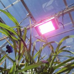 Grow lights in UQ's glasshouses