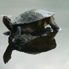 Brisbane river turtle in the UQ Lakes at St Lucia campus