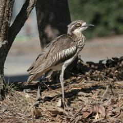 Bush Stone Curlew on St Lucia campus