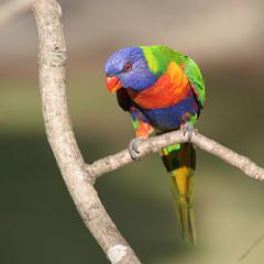 Rainbow lorikeet sitting on a tree branch