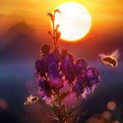 Bee on a flower at sunset