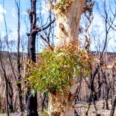 Australian eucalyptus tree.